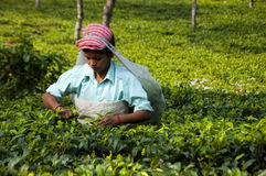 Indian lady picking tea leaves Stock Photography