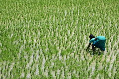 Indian  lady on a rice field. under hard sun. Royalty Free Stock Images