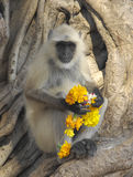 Indian Langur. This Indian Langur was seen close to a templa at the Ranthambore Nationalpark in Rajasthan India Royalty Free Stock Photo