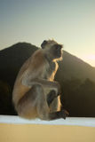 Indian Langur Royalty Free Stock Image