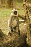 Indian Langur Stock Images