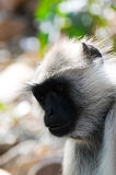 Indian langur face close up Royalty Free Stock Images