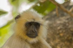 Indian Langur Facial Expression: Concentration,Concern. Facial expressions of monkeys such as this Indian Langur are similar to human facial expressions; here if royalty free stock image