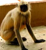 Indian Langur Monkey. The Indian langur monkey animal mammals.  indian grey and black colored monkey Royalty Free Stock Photos