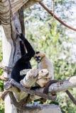 Indian Langur Monkeys Royalty Free Stock Photos