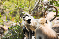 Indian langurs at the hillside pathway Royalty Free Stock Images