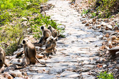 Indian langurs at the hillside pathway Royalty Free Stock Photo