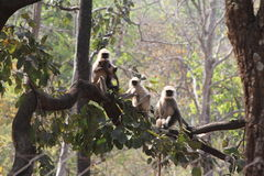Indian Langurs Stock Image