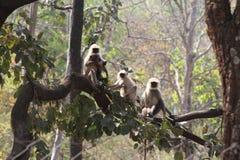 Indian Langurs Stock Image