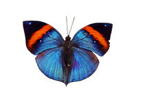 Indian Leaf Butterfly Royalty Free Stock Photo