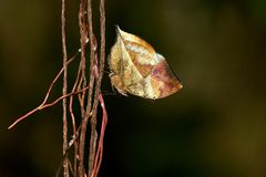 Indian Leafwing butterfly Royalty Free Stock Photography