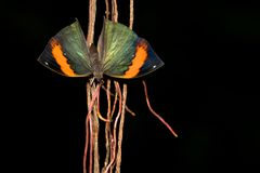 Indian Leafwing butterfly Stock Photo