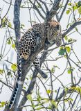 Indian Leopard in Bandipur forest. Beautiful Indian leopard sitting on a tree brach Royalty Free Stock Photos