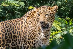 Indian Leopard in Jungle. Indian leopard Panthera pardus fusca large male in Jungle stock photos