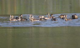 Indian lesser whistling duck. Family enjoy in water of pond. beautiful and natural view stock photos