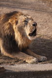 Indian lion Stock Images