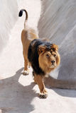 The Indian Lion Stock Photography
