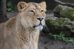 Indian Lion. Asiatic Female Lioness Stock Photography