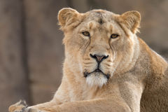 Indian Lion. Asiatic Female Lioness Royalty Free Stock Photos