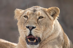Indian Lion. Asiatic Female Lioness Showing Teeth Stock Images