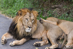Indian Lion lying on road Stock Image