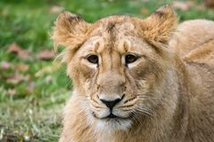 Indian lion3 Stock Images