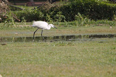 Indian little egret. The little egret or white egret with worm Stock Image