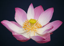 Indian lotus  Royalty Free Stock Image