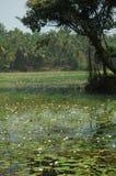 Indian lotus. White Lotus, India, south Goa Stock Photography