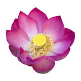 Indian lotus flower Stock Photos