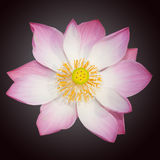 Indian lotus isolated Royalty Free Stock Photography