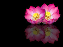 Indian lotus mirror reflection on black background Stock Images