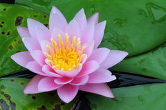 Indian Lotus (Nelumbo nucifera) Stock Photos