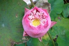 Indian lotus Royalty Free Stock Images