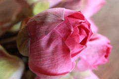 Indian Lotus Stock Photography