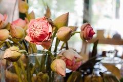 Indian Lotus, Sacred Lotus Royalty Free Stock Image