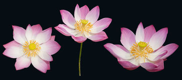 Indian lotus set isolated Stock Photos