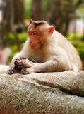 Indian macaque monkey in forest with eyes closed Stock Image
