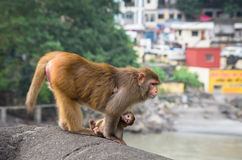Indian Macaque monkeys Royalty Free Stock Image