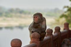Indian Macaque monkeys at the Taj Mahal complex Stock Photos