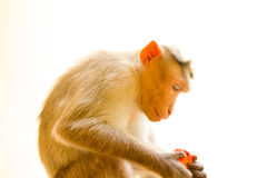 Indian macaques, bonnet macaques, or lat. Macaca radiata. Stock Photo