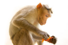 Indian macaques, bonnet macaques, or lat. Macaca radiata. Stock Photos