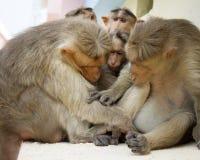 Indian macaques Macaca radiata monkey family Stock Photos