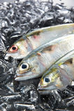 Indian Mackeral Fish Stock Image