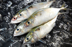 Indian Mackeral Fish. Fresh indian mackeral fish with ice background Stock Images