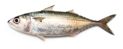 Indian Mackerel. Fully grown matured mackerel found in large schools in the oceans stock photos