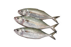 Indian mackerel fresh. In Thailand Stock Photo