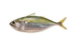 Indian mackerel Royalty Free Stock Photo