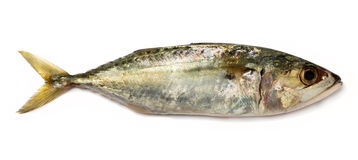 Indian mackerel Royalty Free Stock Images