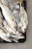 Indian Mackerels on Ice Stock Photo